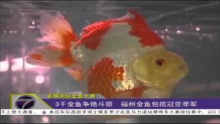 3千金鱼争艳斗丽 福州金鱼包揽冠亚季军