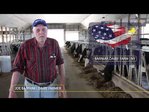 Milking 800 New York cows in Dairymaster Swing 40!