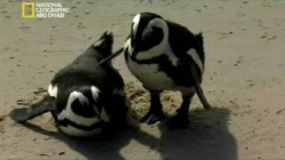 تزاوج البطريق