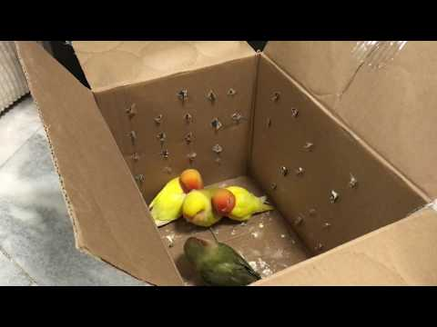 Unboxing a Flock of Lovebird Parrots and Gaining Their Trust