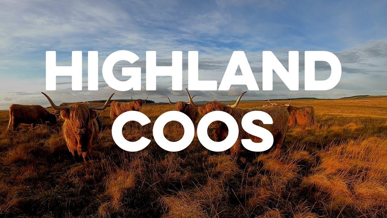 Highland Coo Cam
