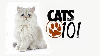 Кошки Шиншилла