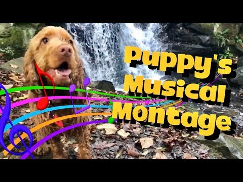 Cookie The Puppy's 'Musical Montage' 🎼🎶🎵 Golden Cocker Spaniel