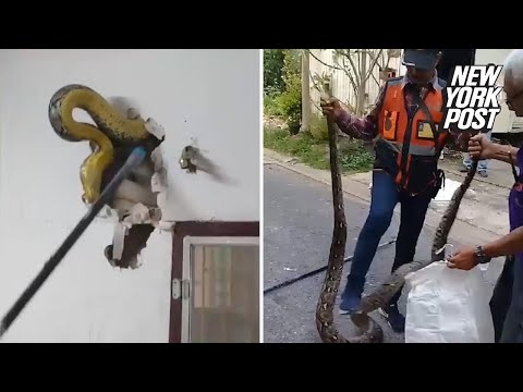 Ayo - Man finds 15-foot python living in the walls of his home.
