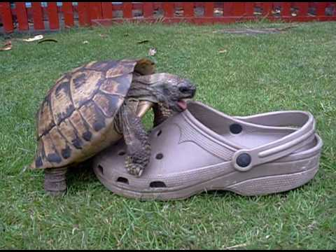 Tortoise having sex with a shoe, squeaking.