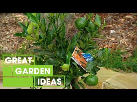 Better Homes and Gardens - Gardening: Dwarf citrus plants