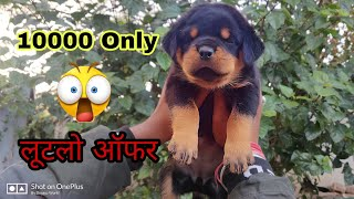 Rottweiler Puppy For Sale 10000 Only  Doggyz World
