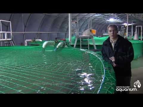White Sturgeon: Unique Aquaculture