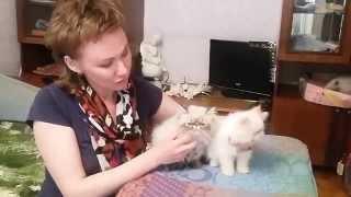Продаются котята Персы Экстрим, 89223430462