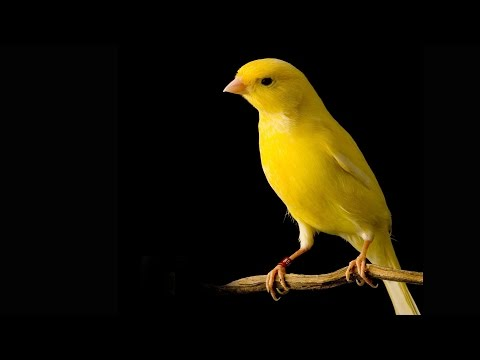 Canaries In The Coalmine