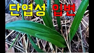 한국춘란 산행/단엽으로 발전할 수있는 단엽성입변 산채