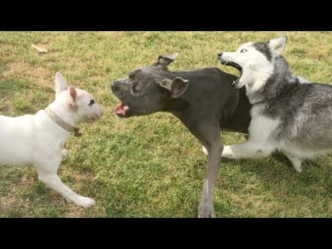 A Bouncy Bull Terrier Pup Annoys a Mastiff/Pit at a Dog Park