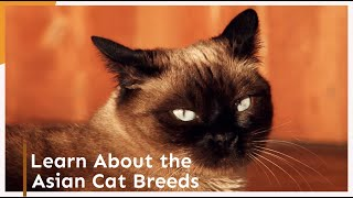 Learn About the Asian Cat Breeds