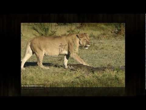 Sư tử và cá sấu