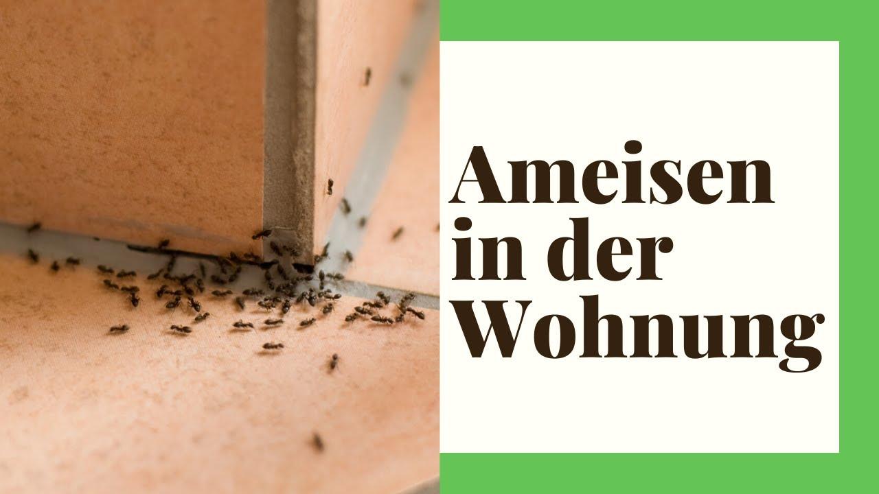 Ameisen in der Wohnung in 6 Schritten wieder loswerden