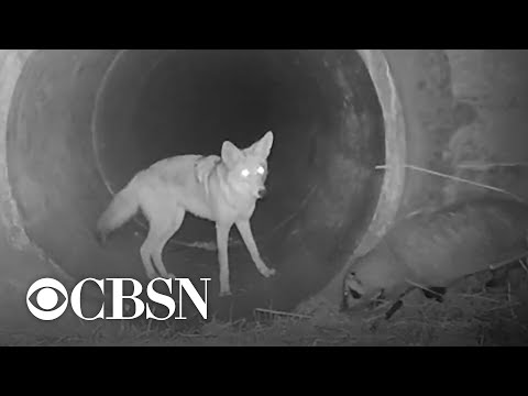 Video shows coyote and badger on a mission together