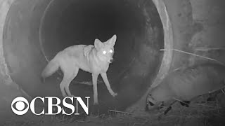 video-shows-coyote-and-badger-on-a-mission-together