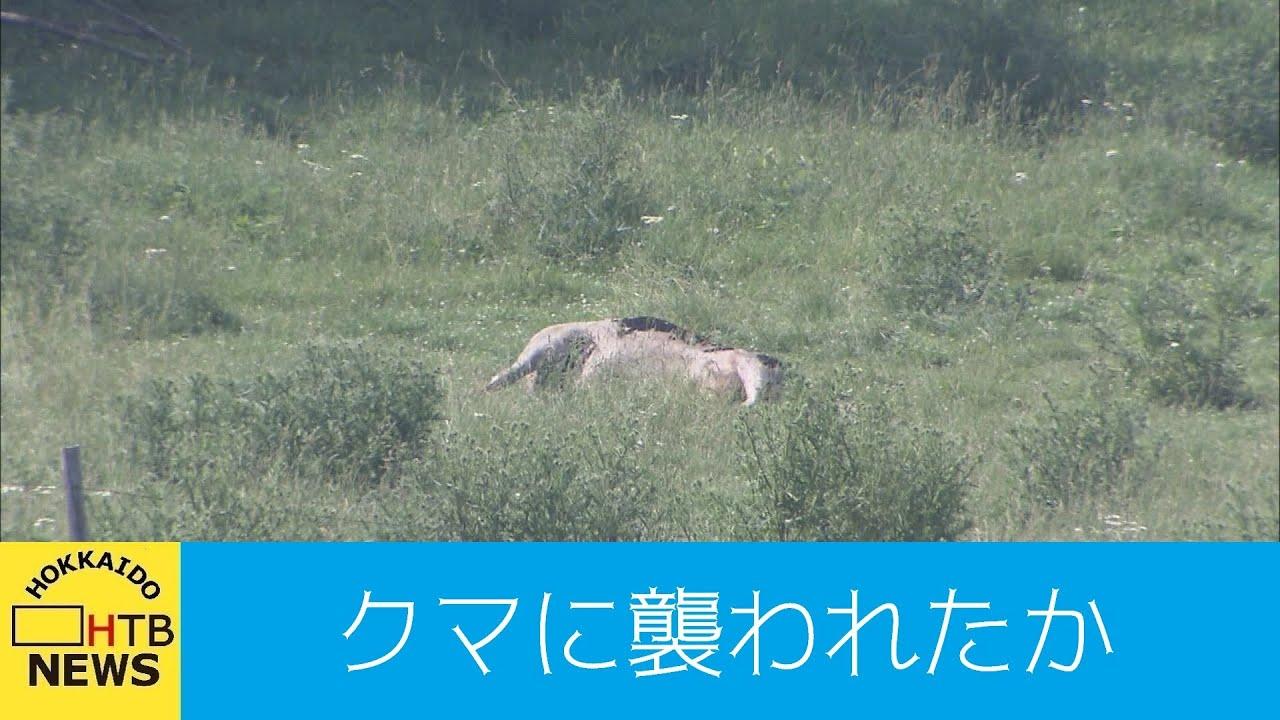 北海道厚岸町 クマに襲われたか 放牧中の牛が死ぬ 1週間前には別の牧場の3頭も…