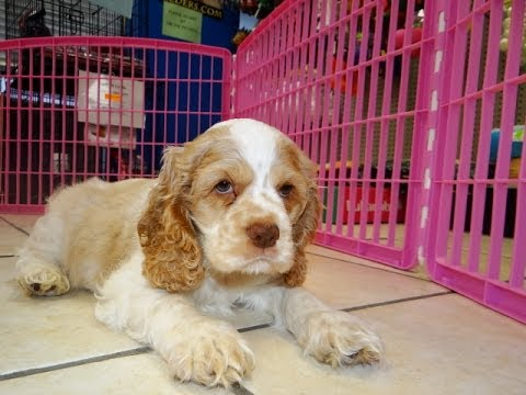 Cocker Spaniel Puppies Dogs For Sale In Atlanta