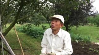 甲州百目柿、今年の収穫時期は?枯露柿は?