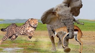 LIVE: Hero Elephant Carry Antelope Escape Hunting of Cheetah - Wild Animals Fight Discovery
