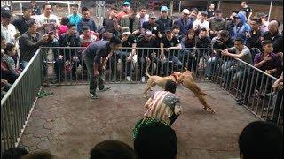 Phẫn nộ trước thú chơi chọi chó Pitḃull vô cùng dã mąn khiến nhiều người rùng mình