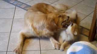 Golden Retriever Vs. Pomeranian (suri And Elly)