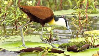 African Jacana the Jesus Bird