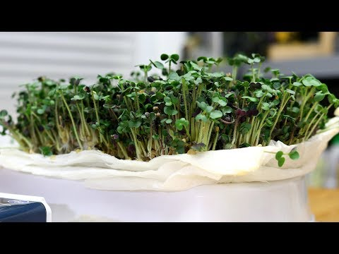 The EASIEST Indoor Gardening Project EVER! | Lentil, Pea, and Mustard Microgreens | 7 Days or LESS