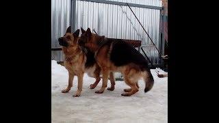 Немецкая овчарка вязка(German Shepherd) Mating in dogs