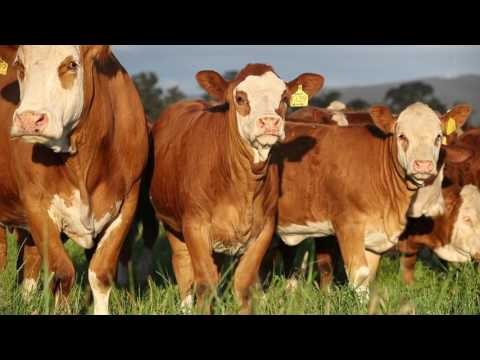Simmental Large Corporate video