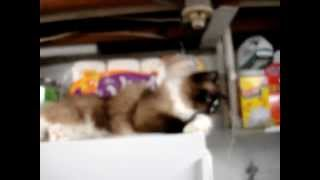 Ragdoll Cat Charlie Playing With The CVS Pharmacy Weekly Ad - Floppycats