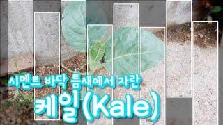 시멘트 바닥 틈새에서 자란 케일(Kale overgro…