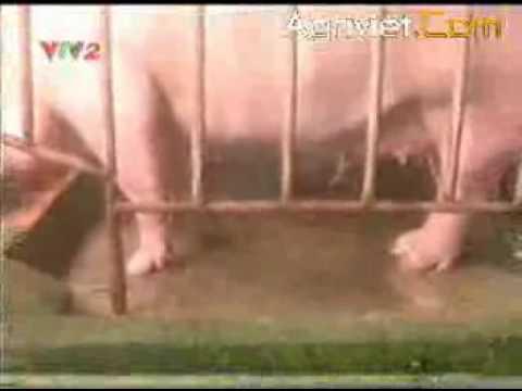Kinh nghiệm chăn nuôi héo nái