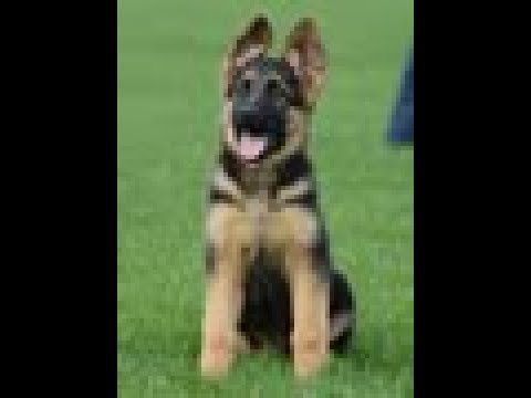 Puppy Training - Positive Method - 3 months old German Shepherd Dog