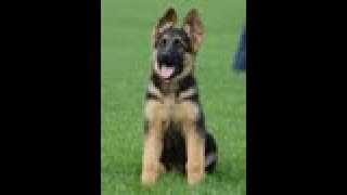 Puppy Training - Positive Method - 3 Months Old German Shepherd Dog / K9 Ambassador