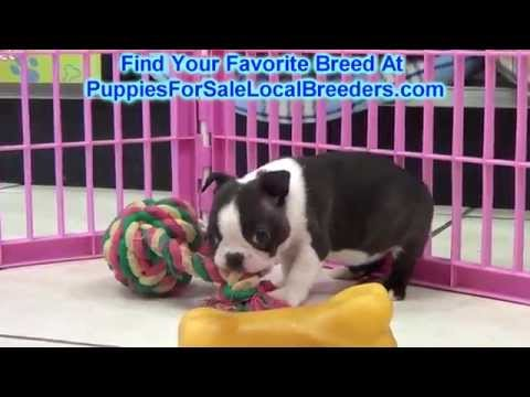 Boston Terrier, Puppies For Sale, In Mobile, County, Alabama, AL, 19Breeders, Tuscaloosa, Decatur