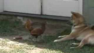 Shiba Inu Vs Chicken Ii