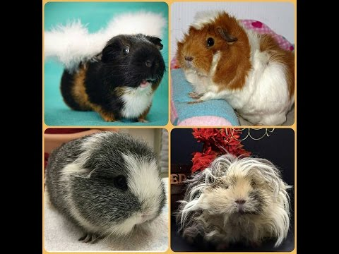 Must Watch! It Could Save Your Guinea Pigs Life.
