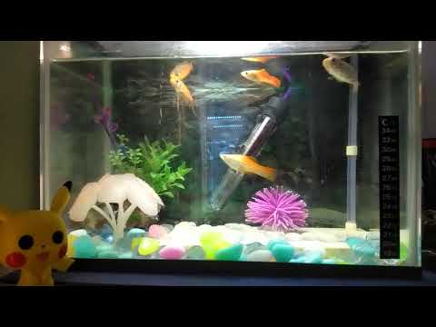 Swordtails Can Get Along With Goldfish
