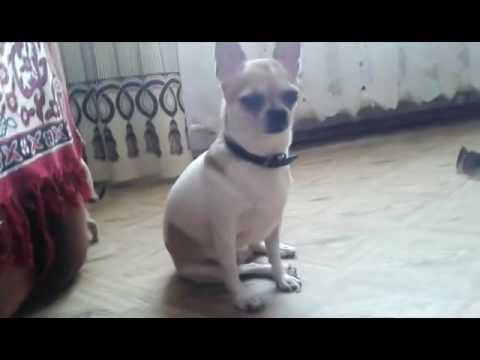 Продажа Собак Чихуахуа  Образец