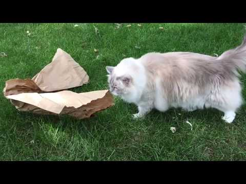 Ragdoll Cats Receive Halo Canned Cat Food and The Honest Kitchen Digestive Tract Stuff - Chewy