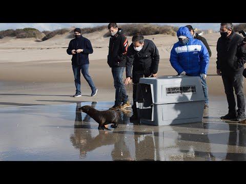 Regresaron al mar los lobos marinos rescatados en Gualeguaychú, Escobar y Tigre
