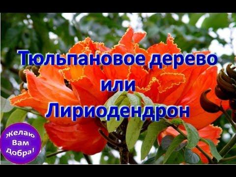 Тюльпановое дерево или Лириодендрон