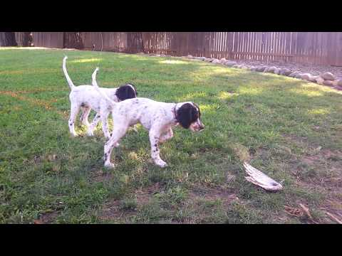 English Setter Training - Mac and Floyd at 3 months
