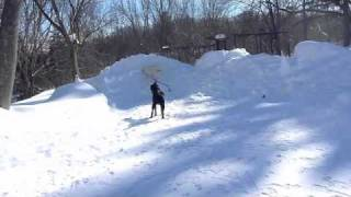 Great Pyrenees And Black Labrador Retriever Play In Snow