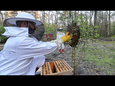 Trying To Catch A SWARM Of Bees! (The Farm Life)
