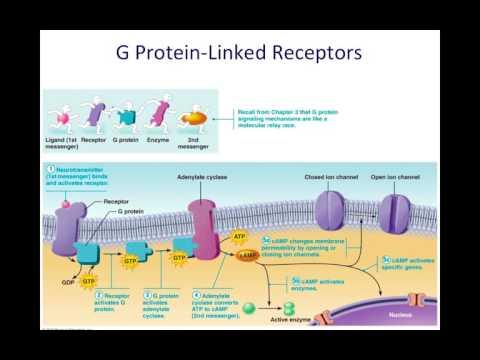G Protein Linked Receptors