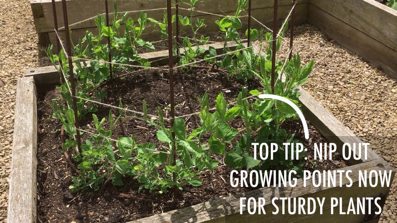 How To Grow Sweet Peas Youtube