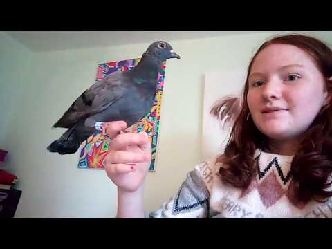 Pet Pigeon Pros And Cons
